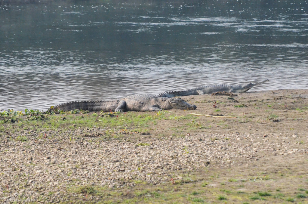 Krokodil und Gavial