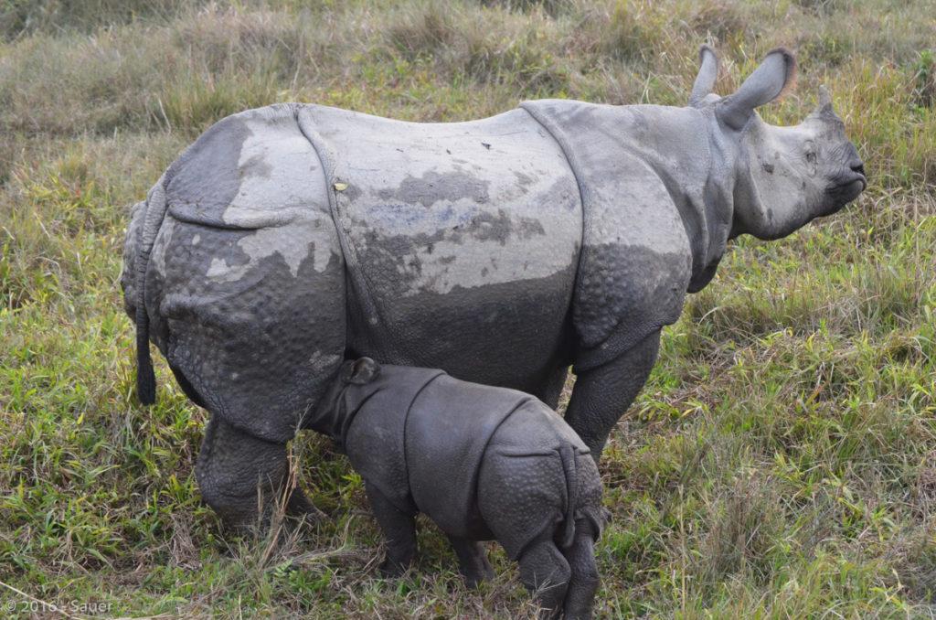 Nashorn mit Jungem