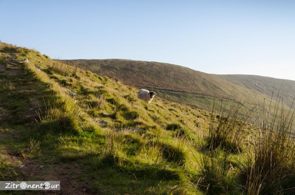 Schaf am Connor Pass