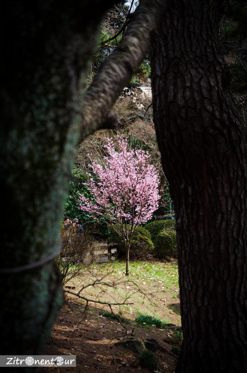 Einzelner blühender Kirschbaum im Shinjuku Gyoen Park