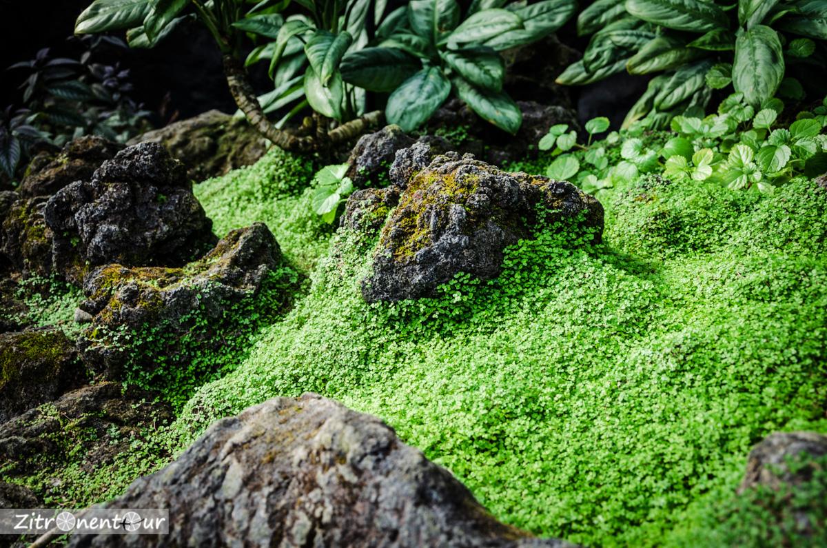 Ein Teppich aus kleinen Kresse-ähnlichen Pflanzen im Gewächshaus des Shinjuku Gyoen Park