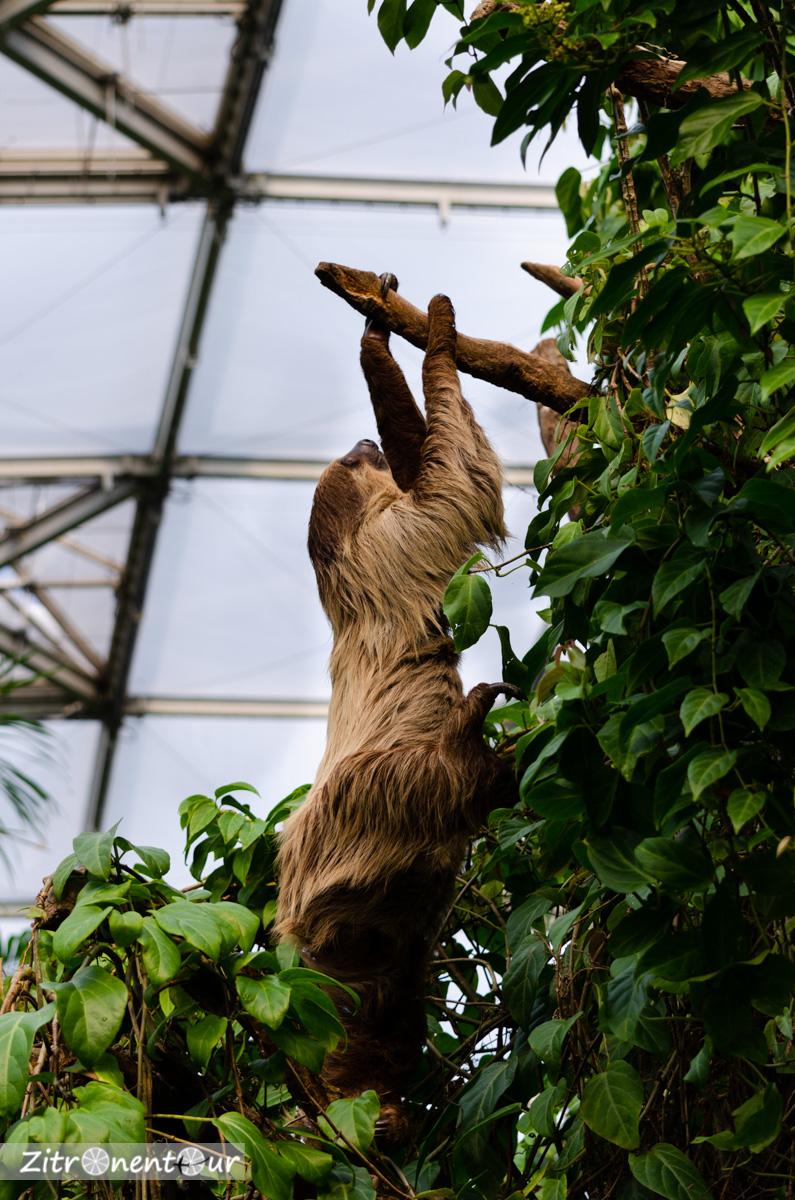 Zoo Leipzig Faultier