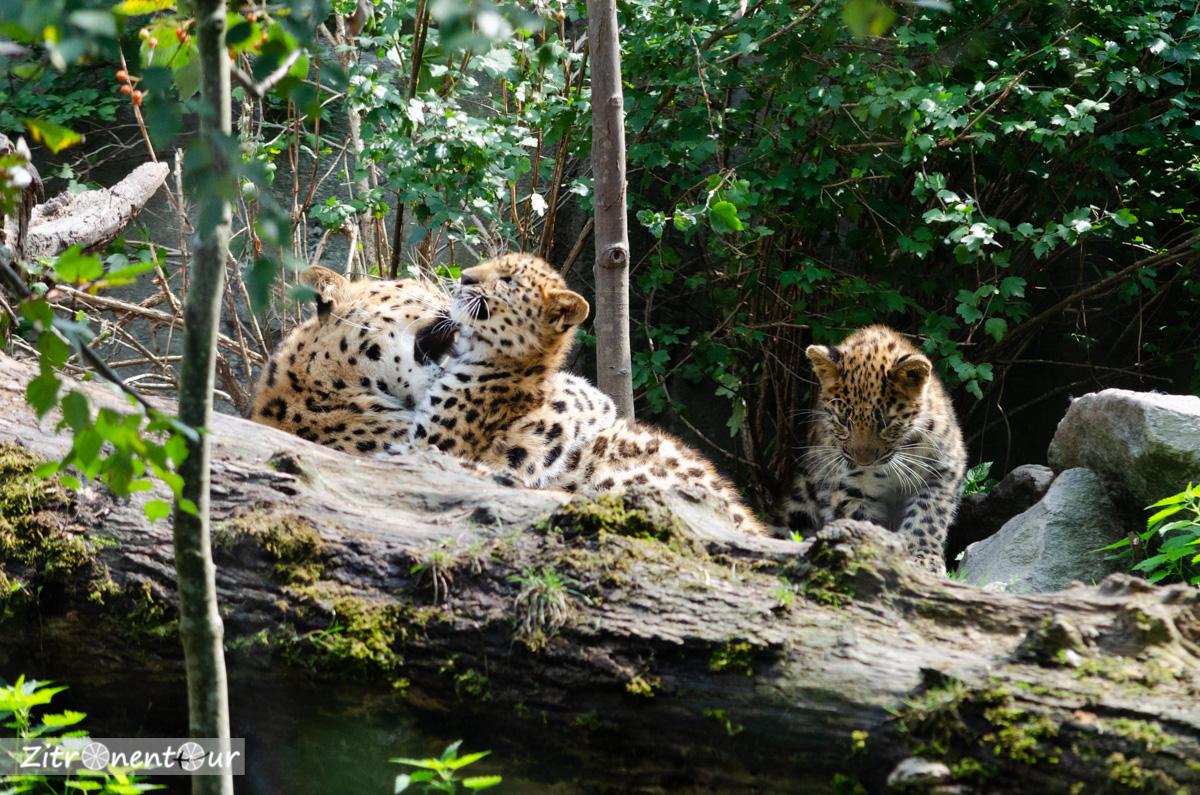 Leopard-Mama spielt mit zwei Jungtieren