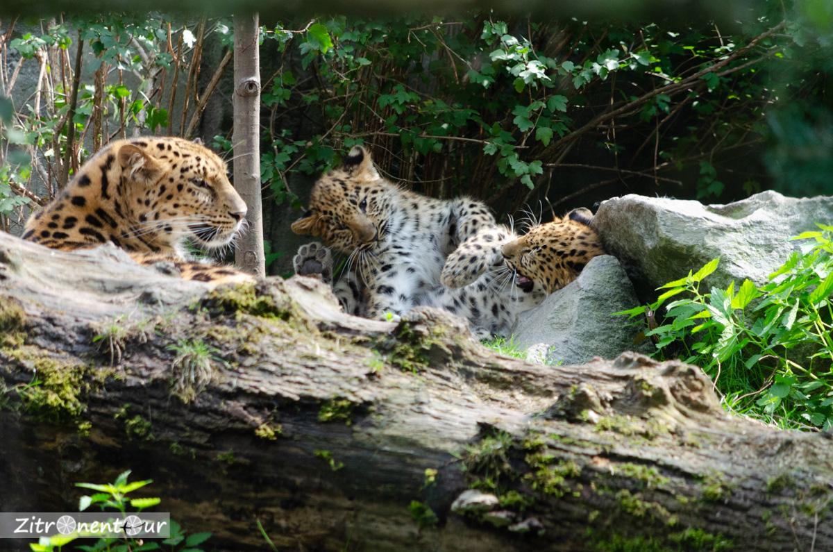 Mama-Leopard und zwei spielende Jungtiere