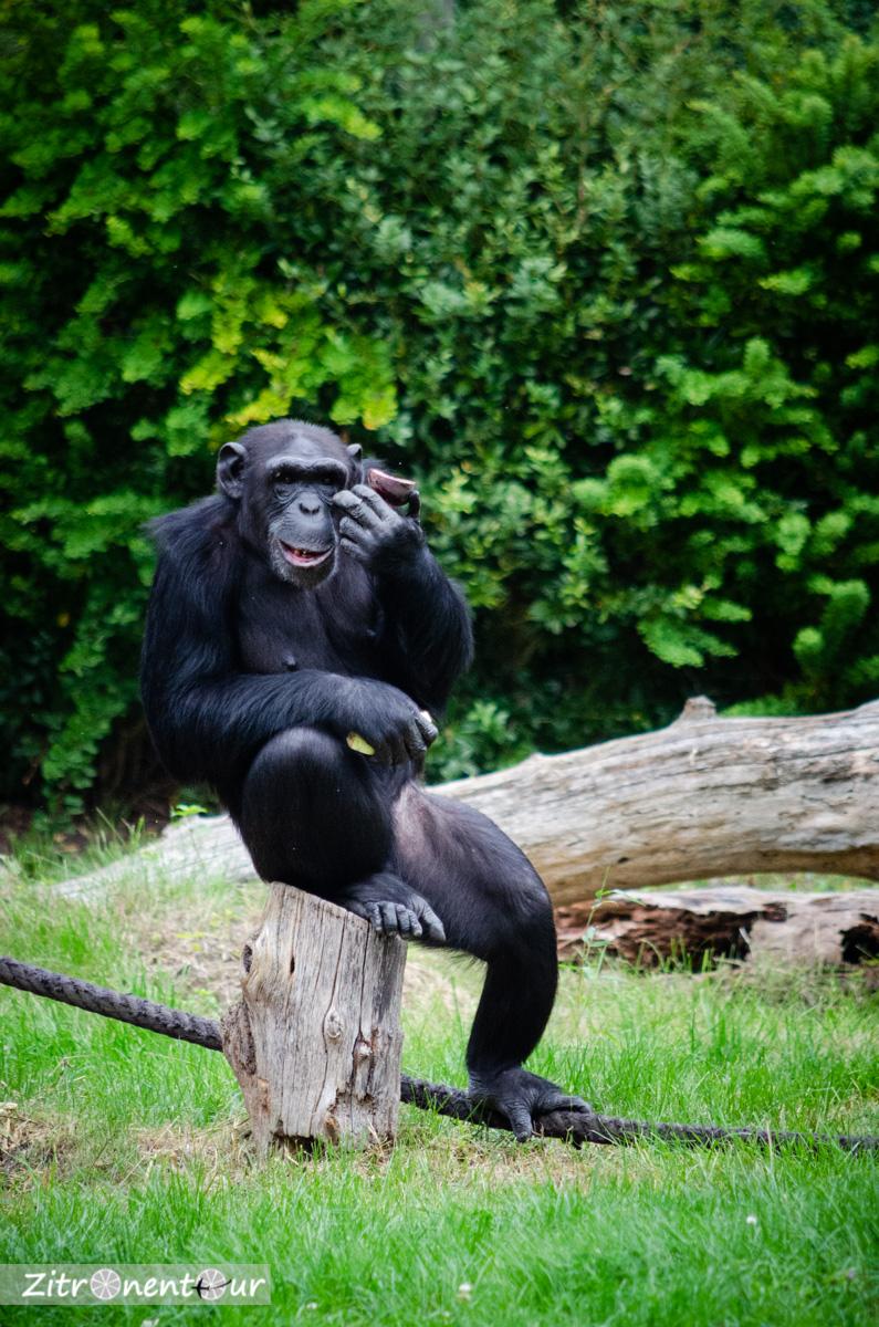 Schimpanse in gemütlicher Sitzposition beim Essen
