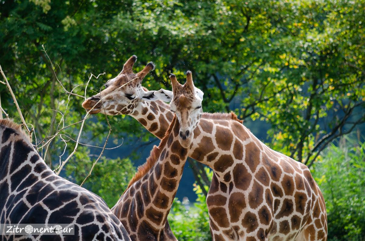 Giraffen-Gruppe