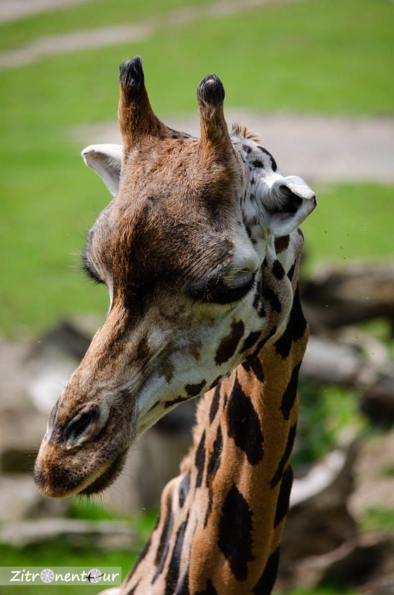 Nahaufnahme Giraffe