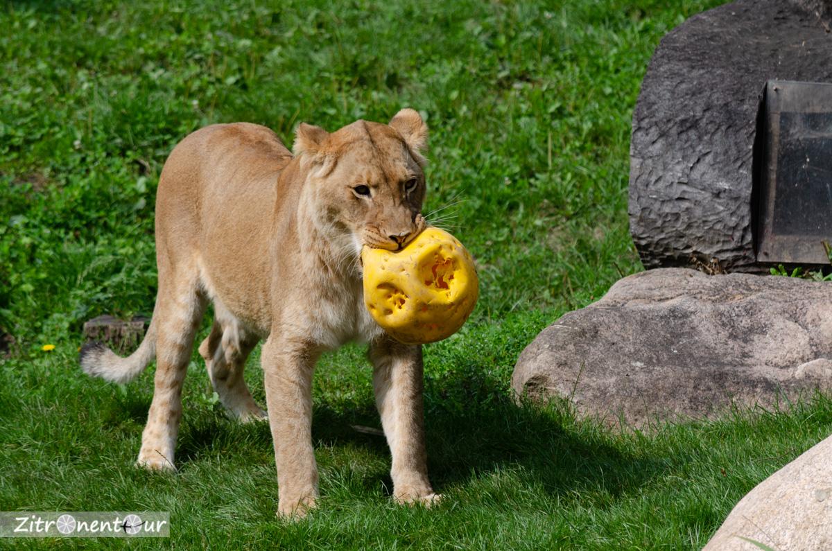 Löwenweibchen mit Spielball