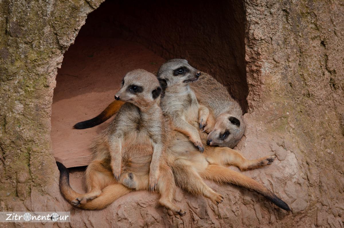 Schlafende und faule Erdmännchen