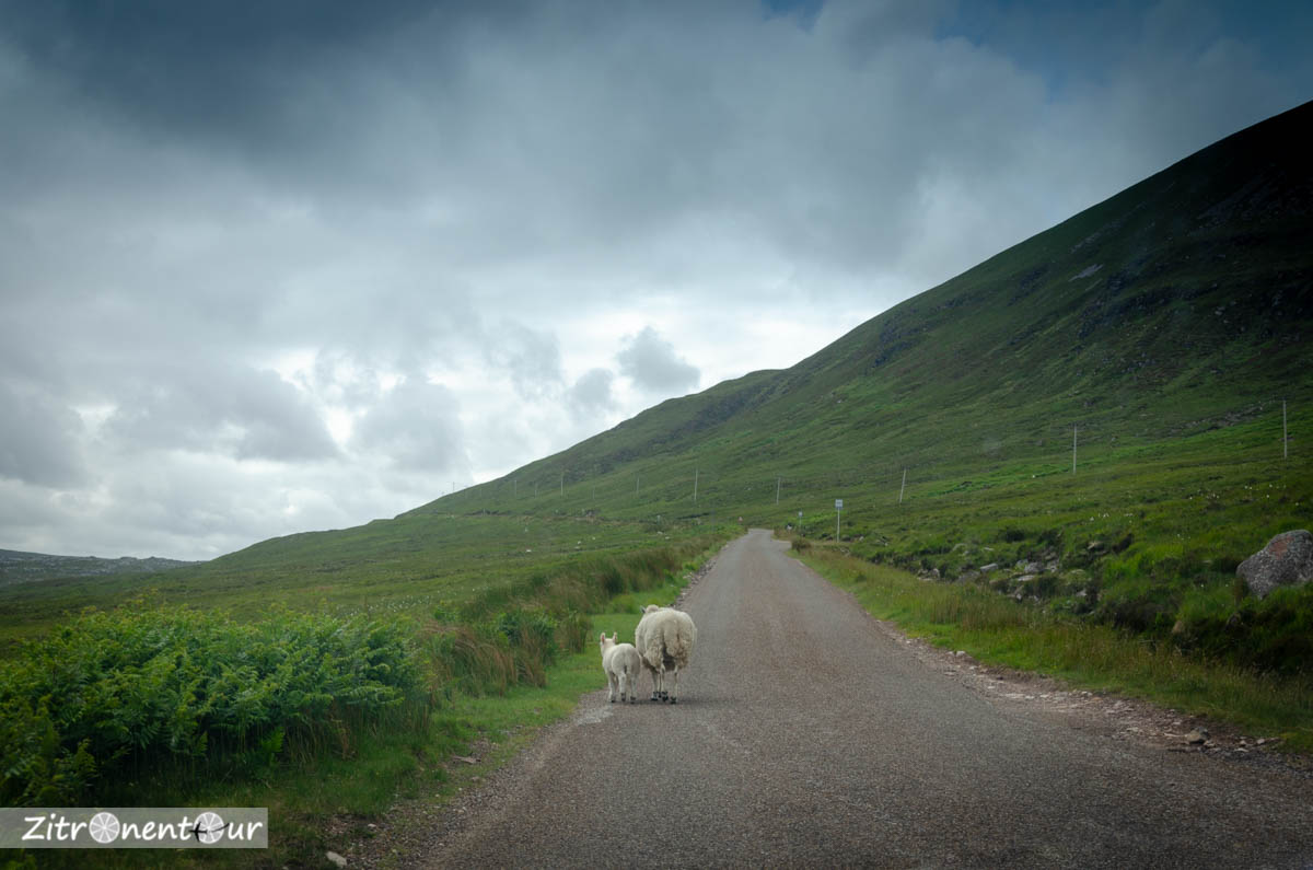 Schafe auf der Straße in Schottland